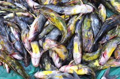 Yellow cartfish Stock Photography