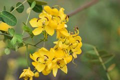 Yellow Cassia blooms growing on a vine. Royalty Free Stock Image