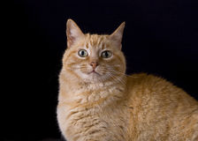 Yellow Cat-01. A portrait of a yellow tabby cat stock photos