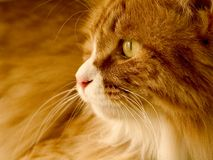 Yellow cat. A yellow cat that looks outside window Stock Photography