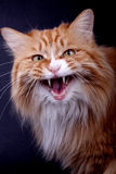 A yellow cat. Is mewing Royalty Free Stock Photos