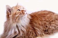 Yellow cat. Royalty Free Stock Image