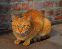 Yellow cat Royalty Free Stock Image
