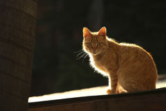 Yellow cat. Backlit yellow cat seated on a roof Royalty Free Stock Photo