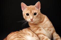 Yellow Cat Stock Photography