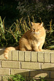 Yellow Cat Brick Wall. Yellow Cat Sitting on Brick Wall Royalty Free Stock Images