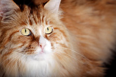 Yellow cat close-up Royalty Free Stock Photos
