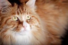 Yellow cat close-up royalty free stock photos