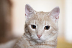 Yellow Cat. Cute yellow cat  looks thoughtfully Stock Images