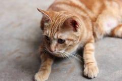 Yellow cat Royalty Free Stock Photo