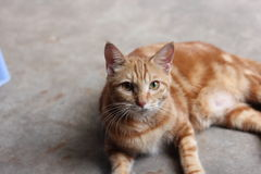 Yellow cat. Domestic yellow cat,lovely pet in house,on the ground,staring at somewhere.eyes open Royalty Free Stock Photos