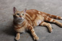 Yellow cat. Domestic yellow cat,lovely pet in house,on the ground,staring at somewhere.eyes open Stock Image