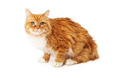 Yellow cat with eye infection sitting Stock Photography