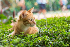 A yellow cat on green grass Royalty Free Stock Photos