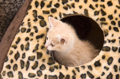 Yellow cat hiding in house Royalty Free Stock Photo