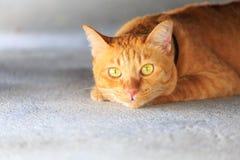Yellow cat Royalty Free Stock Photos