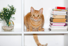 Yellow cat with long tail. Laying on bookshelf Royalty Free Stock Image
