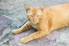 A yellow cat look like a tiger. A yellow cat lay down on cement floor at Wat Pho temple Royalty Free Stock Photo