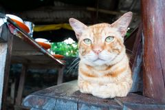 Yellow cat looking at camera. Domestic cat, cutie animal in local area stock photo