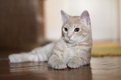 Yellow Cat lying. Yellow cat lies and looks thoughtfully Royalty Free Stock Photography