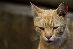 Yellow cat portrait. Sadly yellow cat with weeping eyes Stock Photos