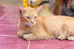 Yellow cat during the relaxing time. Lovely cat. Yellow cat during the relaxing time of midday (soft focus royalty free stock photos