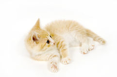 Yellow cat resting on white background Stock Images
