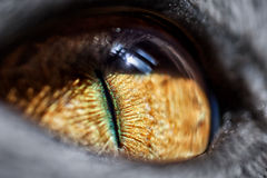 Yellow cat's eye Royalty Free Stock Images