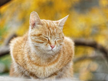 Yellow cat Royalty Free Stock Images