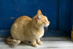 A yellow cat sitting. In front of a blue door, inside a house Stock Photography