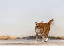 Yellow cat standing on a concrete wall. Royalty Free Stock Images