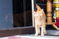 Yellow cat standing gazing. The yellow cat is standing near the glass door in the room and gazing at something of interest Stock Photo