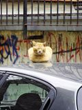 Yellow cat takes rest on the roof of the car stock image
