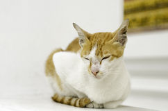 Yellow cat in Thai temple. It's look cute Stock Photo