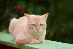 Yellow cat. A yellow cat in Thailand Stock Images
