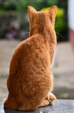 Yellow cat turns Royalty Free Stock Images