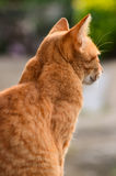Yellow cat turns Royalty Free Stock Photos