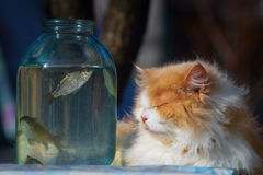 The yellow cat. The yellow cat is watching the fish in the bottle Royalty Free Stock Photos