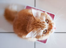 Yellow cat on weighing scale Stock Photo