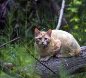 Yellow Cat in Woods Stock Image