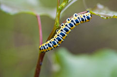 Yellow caterpillar Stock Image