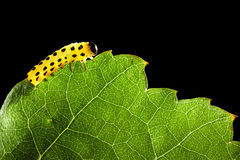 Yellow caterpillar eating green leaf Stock Image