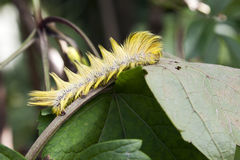 Yellow Caterpillar on Leaf Stock Image