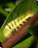 Yellow caterpillar Royalty Free Stock Photos