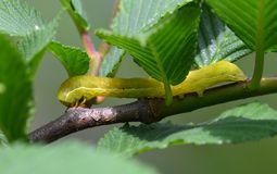 The yellow caterpillar. This yellow caterpillar shuttle between  leaves and crawl on the branch Stock Photos