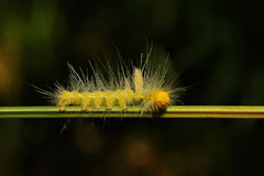 Yellow caterpillar. A yellow caterpillar walk through a branch Royalty Free Stock Photo