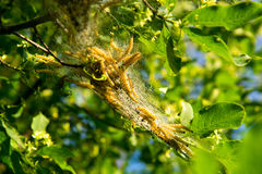 Yellow Caterpillars In Cocoon On Tree Royalty Free Stock Images