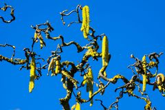 Yellow catkins on crooked bare branches covered with orange lichen Xanthoria parietina of old common hazel tree Corylus. Avellana announce spring royalty free stock photos