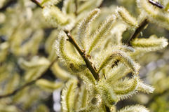 Yellow catkins on a sunny spring day Royalty Free Stock Image