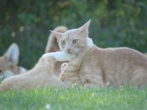 Cat fight. Yellow cats green grass pets felines royalty free stock images